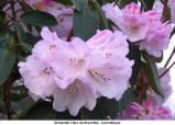 Rhododendrum ; rhododendron