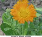 Calendula officinalis; souci officinal
