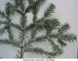 Abies nobilis; sapin noble
