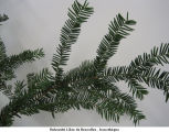 Taxus baccata; if