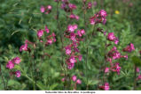 Silene dioica; compagnon rouge
